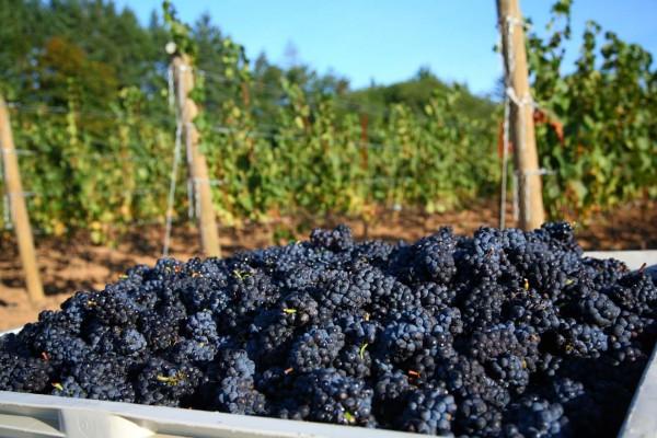 Oregon Pinot Vineyard