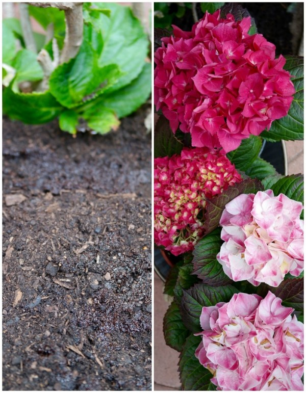 Coffee Grounds for Mulch and Compost for Gardening - The Foodie Affair