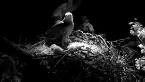 © American Eagle Foundation. DCEAGLECAM.ORG