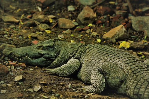 C:\Users\Chimma E\Downloads\alligator-mississipiensis-2763371_1920.jpg
