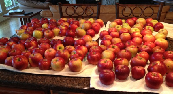 A bumper crop of apples to be used for many apple pies
