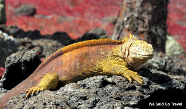 Yellow land iguana on South Plaza, Galapagos Islands, Photo by Lisa Niver