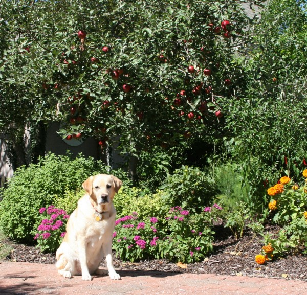 Our Jonathan apple trees covered with apples and our yellow lab, Haley