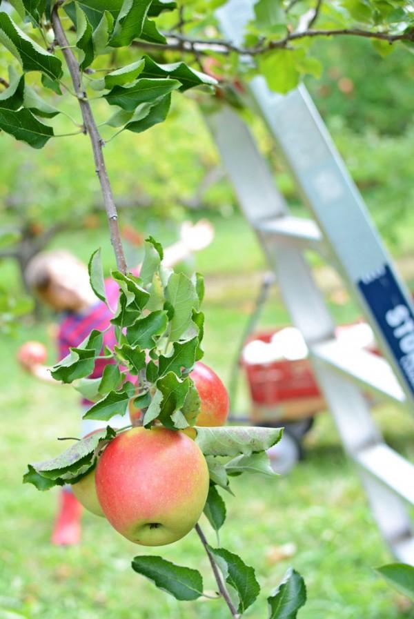 apple-orchard-fun