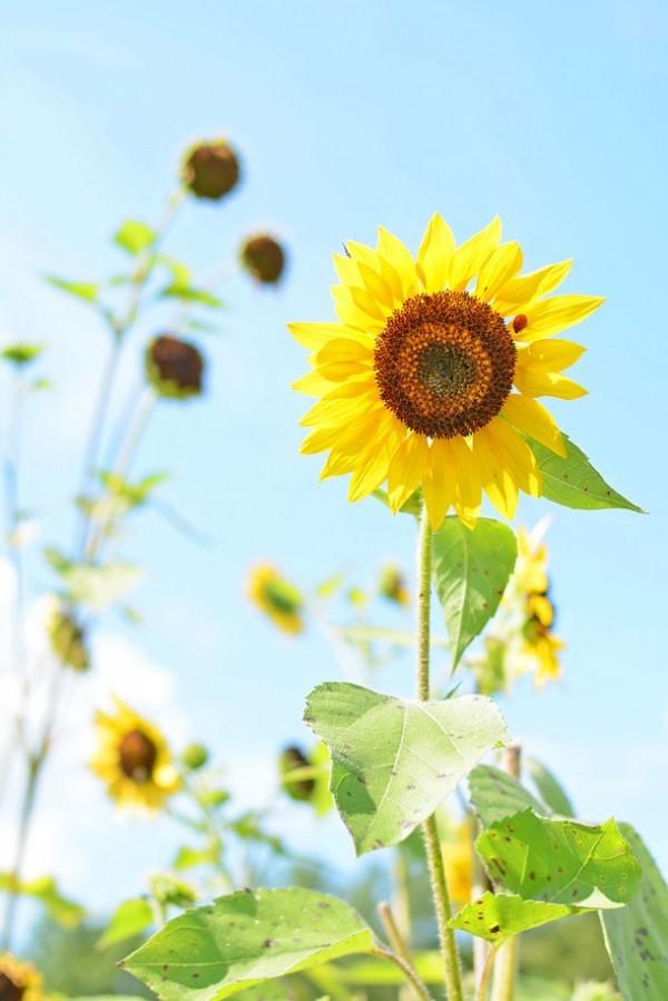 sunflower-ladybug