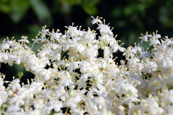 elderflower blooms