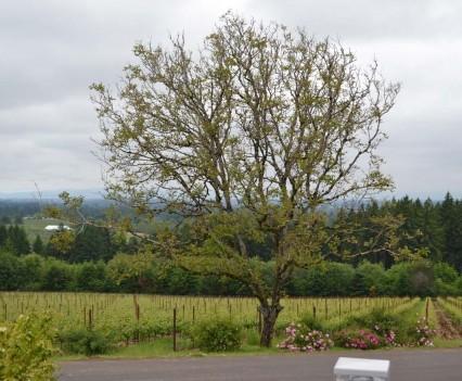 View of the Ponzi Vineyards
