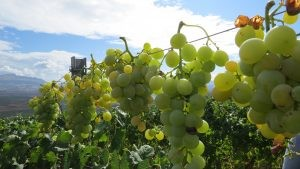 Moscato grapes hanging from a wire as they dry in the sun for passito.